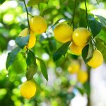 Benefits of the lemon: 5 good reasons to eat it
